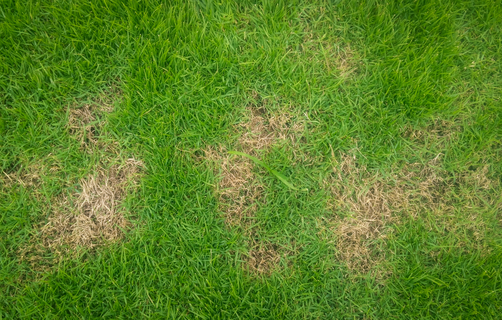 Treating Your Lawn For Dead Spots Stewarts Lawn