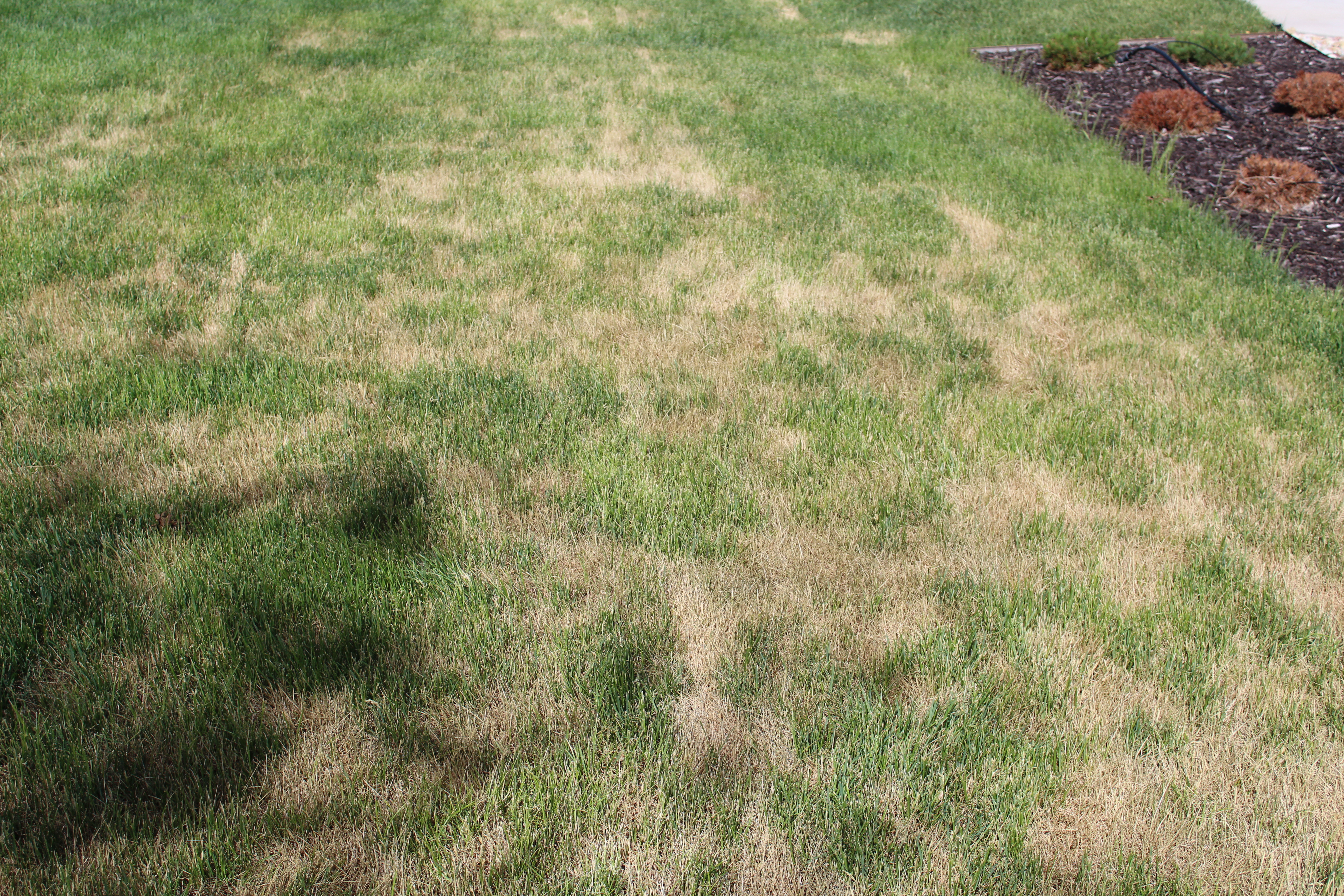 Ascochyta: Why Your Lawn is Yellow | Stewarts Lawn